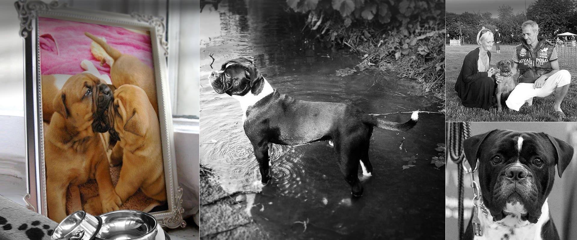 Leavitt bulldog hundeavl slider